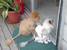 lion cut for cats | STRANGE CAT HAIRCUTS - THE 'LION' CUT!