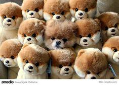 Hangisi gerçek köpek yavrusu?Minik bir boo cinsi köpek yavrusunun taklitleriyle birlikte çekilen bu aşırı sevimli fotoğrafında gerçek köpek yavrusunu peluş olanlardan ayırmak gerçekten çok güç. Ne kadar tatlılar değil mi :)