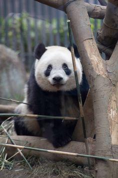今日のパンダ(2417日目) | 毎日パンダ Siberian Tiger, Bengal Tiger, Baby Panda Bears, Baby Pandas, Wildlife Photography, Animal Photography, Panda Family, Cute Baby Animals, Wild Animals