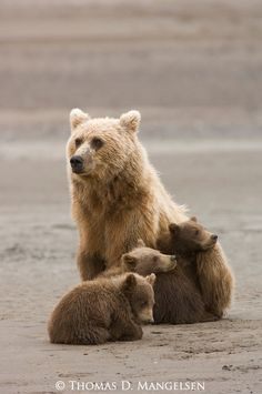 Brown bear mother and three spring cubs at the mouth of Silver Salmon Creek on the western shores of Cook Inlet in Lake Clark National Park, Alaska
