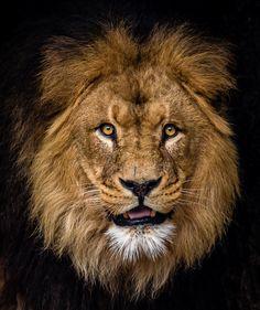 via 500px / Lion by Bas Vermolen
