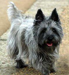 Cairn Terrier = Love