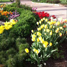 Springtime in Lawrence, KS tulips in the garden
