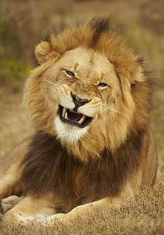 Laughing lion - awesome photogrpahy River Bend Lodge - (c) Nigel Spencer Photography Lion Images, Lion Pictures, Animal Pictures, Beautiful Lion, Animals Beautiful, Cute Animals, Big Cats, Cute Cats, Big Cat Family