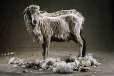 Sumertime also for sheeps.