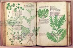Ms Lat 6823 fol.19v & 80 Plants from 'De Herbis' by Manfredus de Monte Imperiali, c.1330-40 (vellum) - Creator Italian School, (14th century) Nationality Italian Location Bibliotheque Nationale, Paris, France