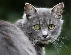 Mooie grijze katten
