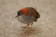 Laterallus exilis - Gray-breasted Crake