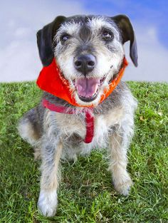 Rockie is a Schnauzer/Jack/Russel Terrier mix. He is about 8 years old and weighs around 25 pounds. He has a wirey coat that is easy to groom, needs brushing, and no clipping. He sheds very little. Adopters must have dog experienced and he must be the only pet in a home without kids. Email Save a Dog Today at saveadogca@gmail.com. Text only 356-2204. Go to www.sadt.info.