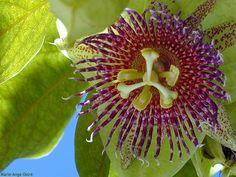 Fleur de la passion, île de La Réunion