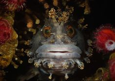 Best Overall Andrey Shpatak Japanese War Bonnet (Chirolophis japonicas) Japan sea, Rudnaya Bay. @2015 Underwater Photography Contest hosted by the University of Miami's Rosenstiel School of Marine and Atmospheric Science