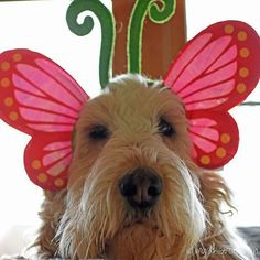 Happy #spring #selfie #butterfly #springtime #firstdayofspring #GBGV #cutedogs #hounds #dogs #dogsinhats  by mygbgvlife  http://bit.ly/teacupdogshq