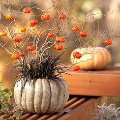 Seasons Of Joy: Pumpkin Happiness!  Jarrahdale pumpkin, black mondo grass, Physalis alkekengi (aka Bladder Cherry or Chinese Lantern and edible!  Like a tomatillo only sweeter.  Plant is a runner like mint.) Plus Curly Willow!