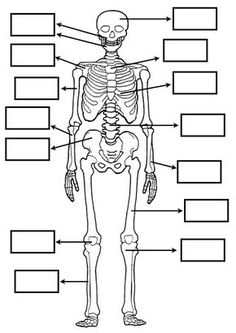 Skeletal System Diagram Without Labels Printable Human