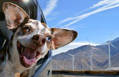 The Dogs in Cars series Lara Jo Regan: Is there more infectious than the boundless joy of these dogs?