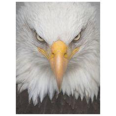 Eagle Images, Eagle Pictures, Bird Pictures, Birds Pics, Eagle Face, Bald Eagle, Eagles, Adler Tattoo, Eagle Wallpaper