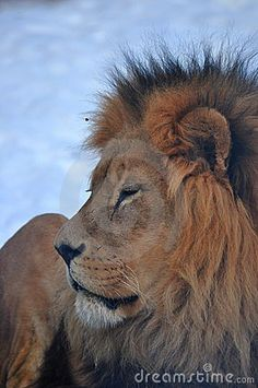 Lion at the Calgary Zoo