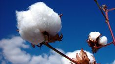 MCX June Cotton edged lower on Monday tracking fall in international prices and technical selling at higher levels.  MCX June Cotton edged lower on Monday tracking fall in international prices and technical selling at higher levels. Currently, cotton is trading at 22 months highs in the domestic market as Miller and traders are stocking up cotton for the lean season.  Moreover, good export demand from China is also fueling the prices