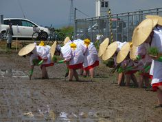 【御田植】平成24年5月26日、伝統的稲作行事『御田植』(主催・巴会)での、早乙女による田植の様子②です。