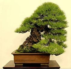 84th KOKUFU BONSAI TEN EXHIBITION 2010 Pine Bonsai, Bonsai Trees, Indoor Bonsai, Bonsai Garden, Live Plants, Herbs, Gardening, Nice, Flowers