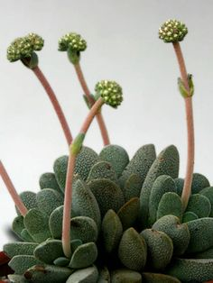 Crassula tecta (Lizard Skin Crassula) is a perennial succulent with a basal rosette often much-branched from the base. Fleshy leaves are grey-green. Echeveria, Plante Crassula, Crassula Succulent, Cactus Plante, Crassula Ovata, Succulent Gardening, Succulent Terrarium, Types Of Succulents, Growing Succulents
