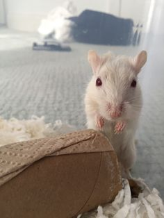 Our adorable new gerbil, Snow Boots! She's a beautiful and cute dark tailed white. ❤️ see more adorable gerbils at ohanagerbils.com! Super Cute Animals, Gerbil, Ohana, Guinea Pigs, Snow Boots, Cute Pictures, Creatures, Dark, Pets