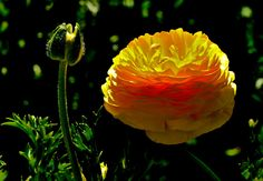All sizes | Ranunculus (On Explore! Feb 20, 2013, #130) | Flickr - Photo Sharing!