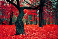 via; Places to See Before You Die  The Crimson Forest in Gryfino, Poland. Beautiful, isn't it?