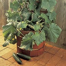 Salad Bush Hybrid Cucumber -Ideally suited for gardeners with limited space, needing only two square feet. Also does well for patio or container gardening and hanging baskets. Attractive dark green, 8 inch cylindrical fruits are tender and crisp. The compact plants have improved disease tolerance. 1988 AAS Winner.