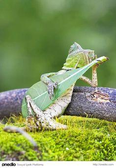 İşte Yogyakarta, Endonezya'da görüntülenen gitarist kertenkele.