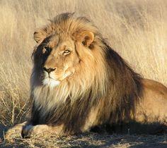 Source: en.wikipedia.org/wiki/File:Lion_waiting_in_Namibia.jpg