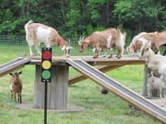 15 Goat's Playground Ideas For Your Farm - The Best Goat Playground Ideas, Tips, Plans and Images Keeping Goats, Raising Goats, Mini Goats, Cute Goats, Goat Playground, Playground Ideas, Goat Toys, Fainting Goat, Goat Shelter