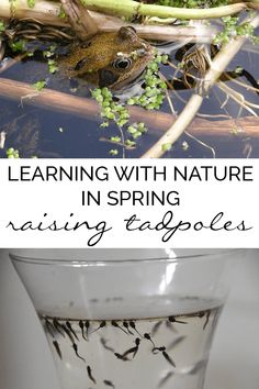 A comprehensive guide to collecting and raising tadpoles from frogspawn to froglets in your own home. A fun and simple low-cost nature activity for kids to do in Spring at home or in the classroom perfect for learning about lifecycles. #naturestudy #science #biology #tadpoles #frogs #frogspawn #homeeducation #homeschooling via @rainydaymum