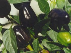 chilli seed bank - a great resource for all types of chilli