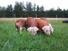 Hereford hogs -I'm diggin the ears on these beauties