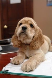 Super cute puppy! #Cocker_spaniel_puppies #cute_puppies