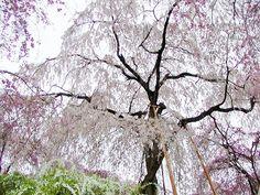 原谷苑  #京都 #春 #kyoto #spring #japan