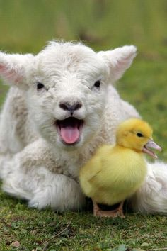 They must be a noisy couple! A lamb and duckling mid-song..