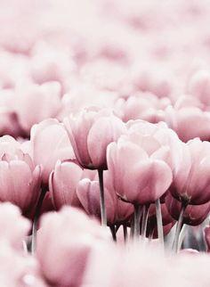 Iphpne wallpaper pink rose flower girly tulips floral
