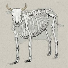 Cow Anatomy Drawing