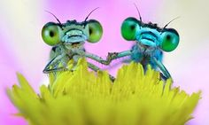 Best of friends: two damselflies on a flower in the Po Valley, Italy, look like they're holding hands. Photographer Alberto Ghizzi Panizza, 38, spotted the insects in the dew as he walked across a flood plain early one morning. Struck by their cute poses, he took the shots shortly after dawn as they rested on wild flowers.
