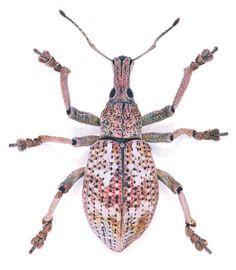 Eupholus sp.  Location: Papua New Guinea  Size:2 cm