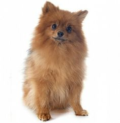 Their dog was Rusty, a little German Spitz. She'd bark like mad when anyone came to the door. Chihuahua, Pomeranian Puppy, German Spitz, Wolf, Graphic Prints, Cute Dogs, Dog Cat, Cute Animals, Puppies