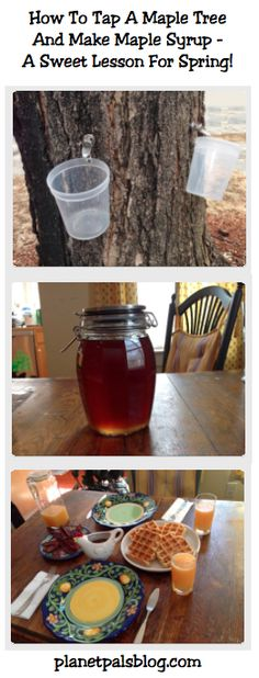 How To Tap A Maple Tree And Make Maple Syrup - A Sweet Lesson For Spring! How and when to harvest maple syrup from a maple tree. Tapping Maple Trees, Sugaring, Mini Farm, Hobby Farms, Fruit Trees, Maple Syrup, Preserves, Berries, Favorite Recipes