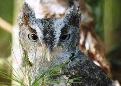 Gray Morph Eastern Screech Owl (Otus) with Red Morph (Gemma) in background at Cedar Run