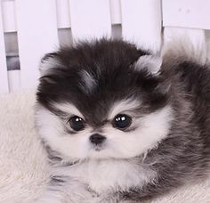 Mini Dog Dwarf Spitz Dwarf Pomeranian dog with white paws diy funny tattoo bonitos cachorros graciosos Mini Dogs, Cute Dogs And Puppies, Doggies, Teacup Puppies For Sale, Poodle Puppies, Adorable Puppies, Rottweiler Puppies, Tiny Puppies For Sale