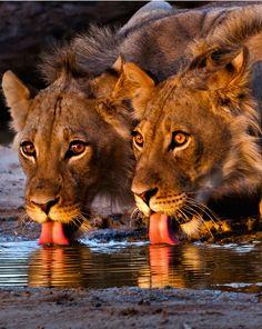 """cocoaaaaa:  """" African Lion""""s Drinking  """""""