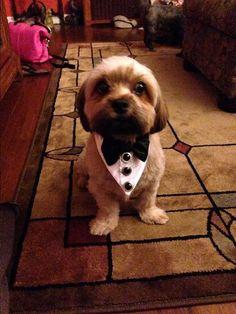 Tuxedo Dog or Cat Wedding Collar  Summer Wedding Pet by miascloset, $15.00