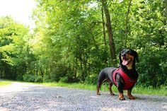 Dad's Birthday Gifts & Canada Day – Crusoe the Celebrity Dachshund
