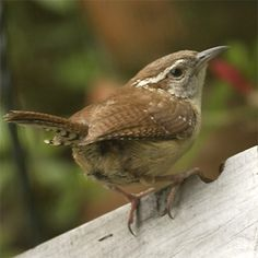 wren images | Carolina Wrens live in thickets, forests, marshes, parks, streamsides ...